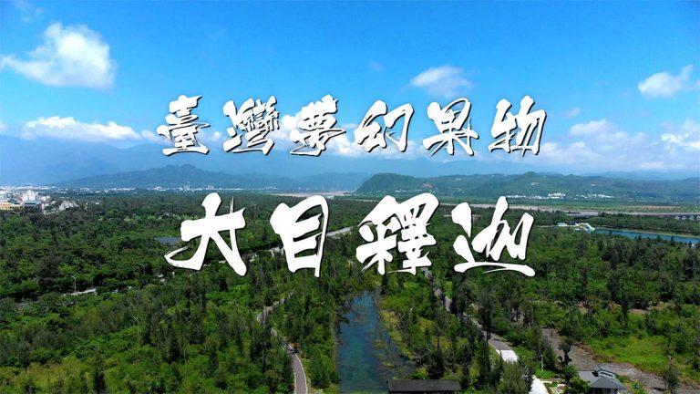 台灣大目釋迦